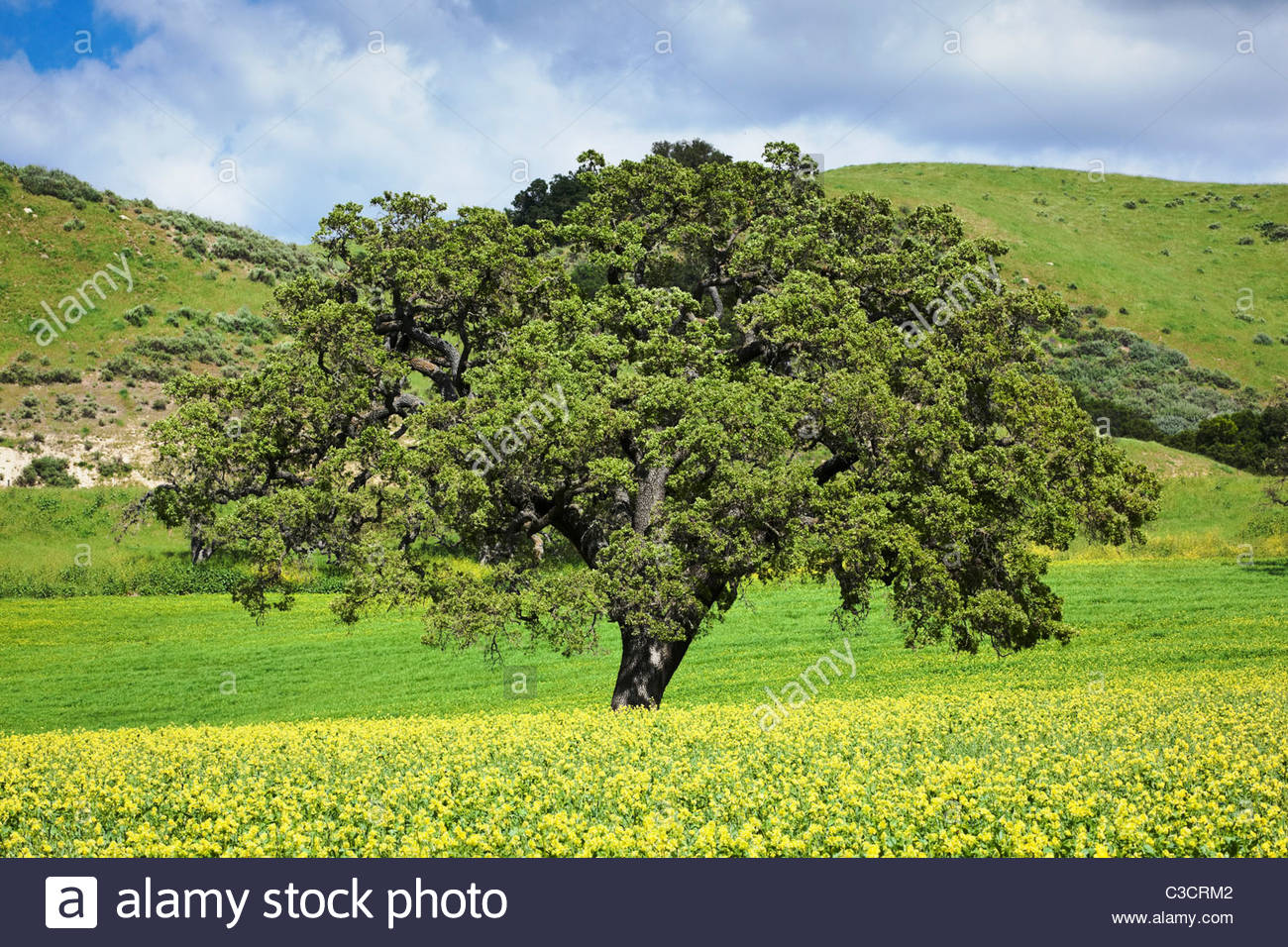 mustard-flowers-and-oak-tree-in-chaparral-landscape-los-olivos-california-C3CRM2
